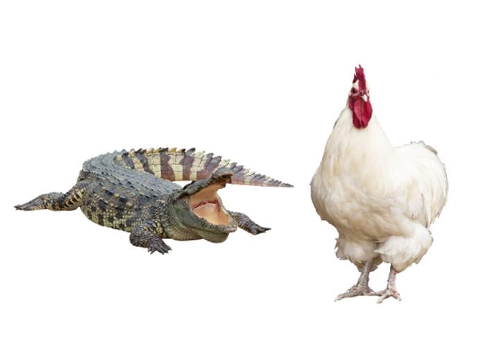 allergisk mot kyckling