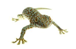 Geckoödla